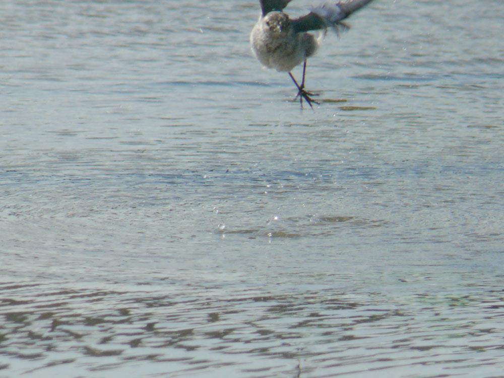 水たまりの鳥さんたち ハクセキレイの幼鳥_e0088233_14562717.jpg