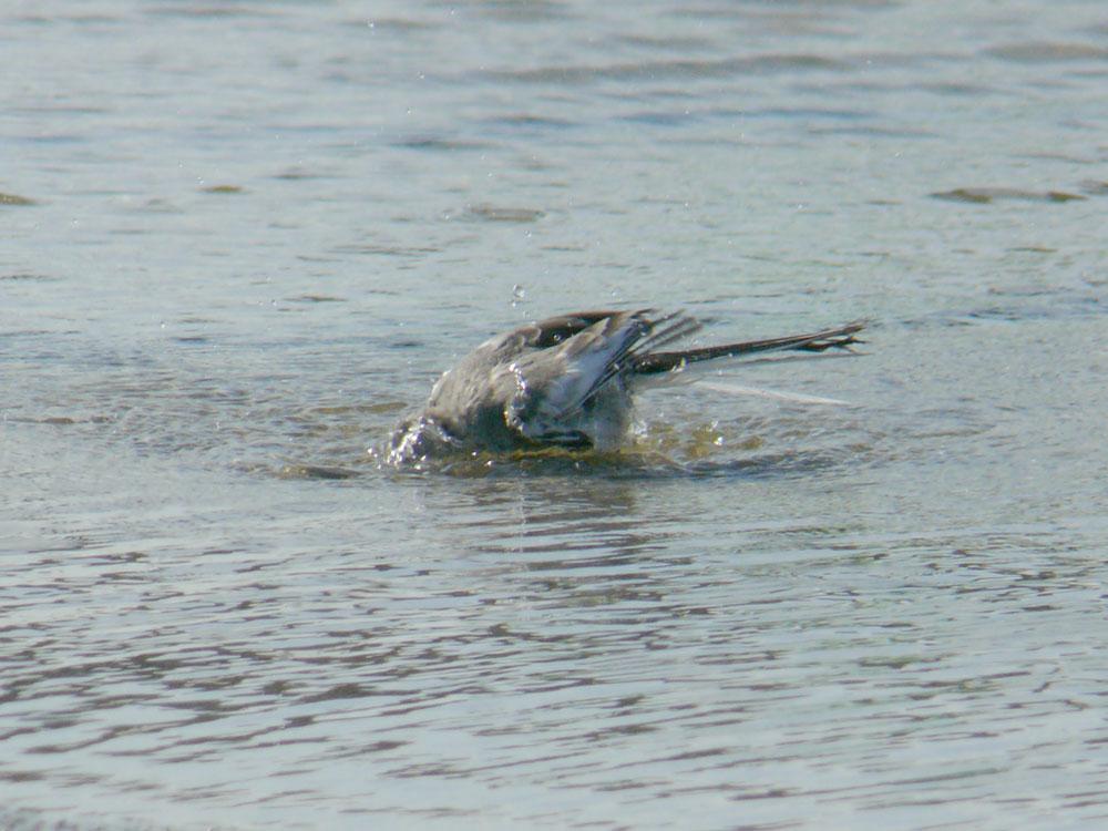 水たまりの鳥さんたち ハクセキレイの幼鳥_e0088233_1456718.jpg