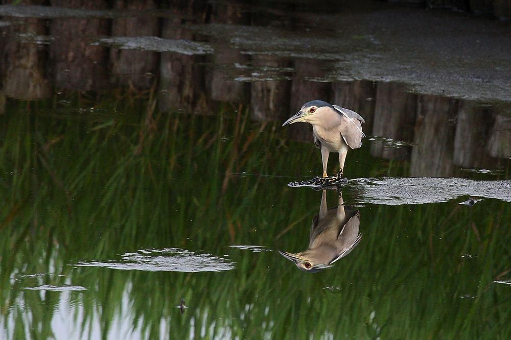 ゴイサギ成鳥の長い舌/タマムシ_b0024798_711215.jpg