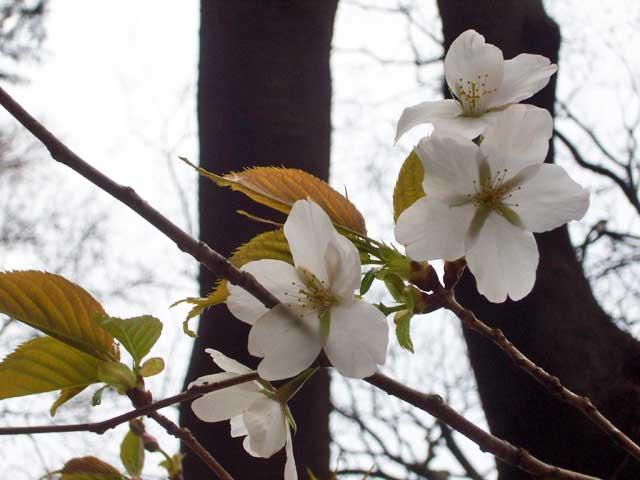 2008年 善福寺公園で花見_a0016730_4573096.jpg