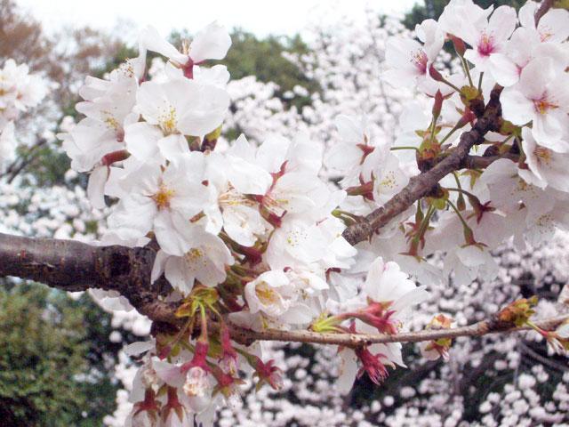 2008年 善福寺公園で花見_a0016730_457826.jpg