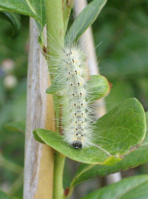 アメリカシロヒトリの終齢幼虫とイラガ退治_f0018078_1436651.jpg