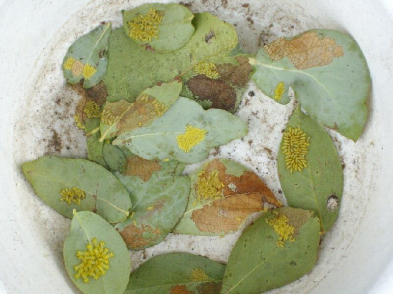アメリカシロヒトリの終齢幼虫とイラガ退治_f0018078_1732999.jpg