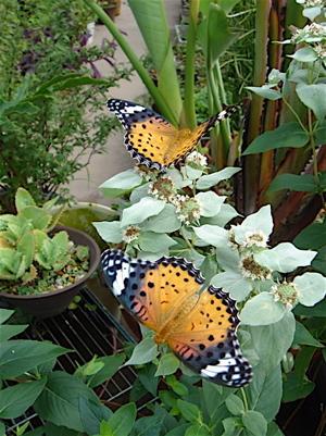 ベランダに集まる蝶々たち_f0160063_16582718.jpg