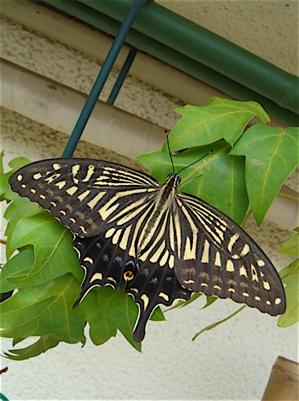 ベランダに集まる蝶々たち_f0160063_1659284.jpg