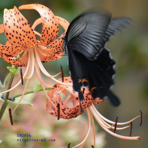 Lily and Butterfly_a0002672_23162157.jpg