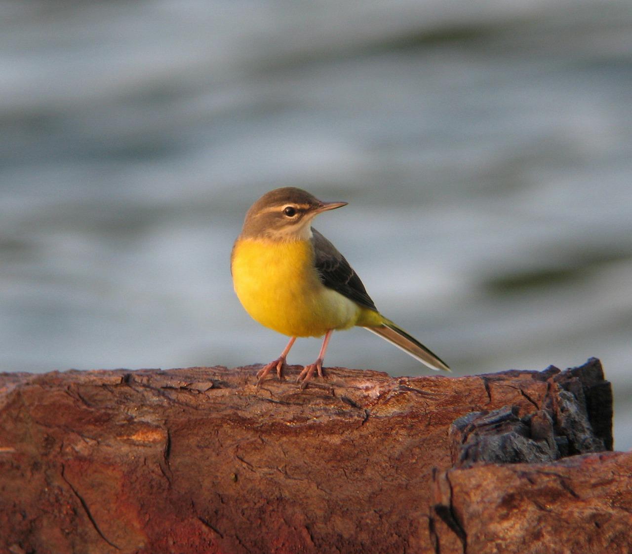 キセキレイちゃんの幼鳥と思います。_e0018678_20385866.jpg
