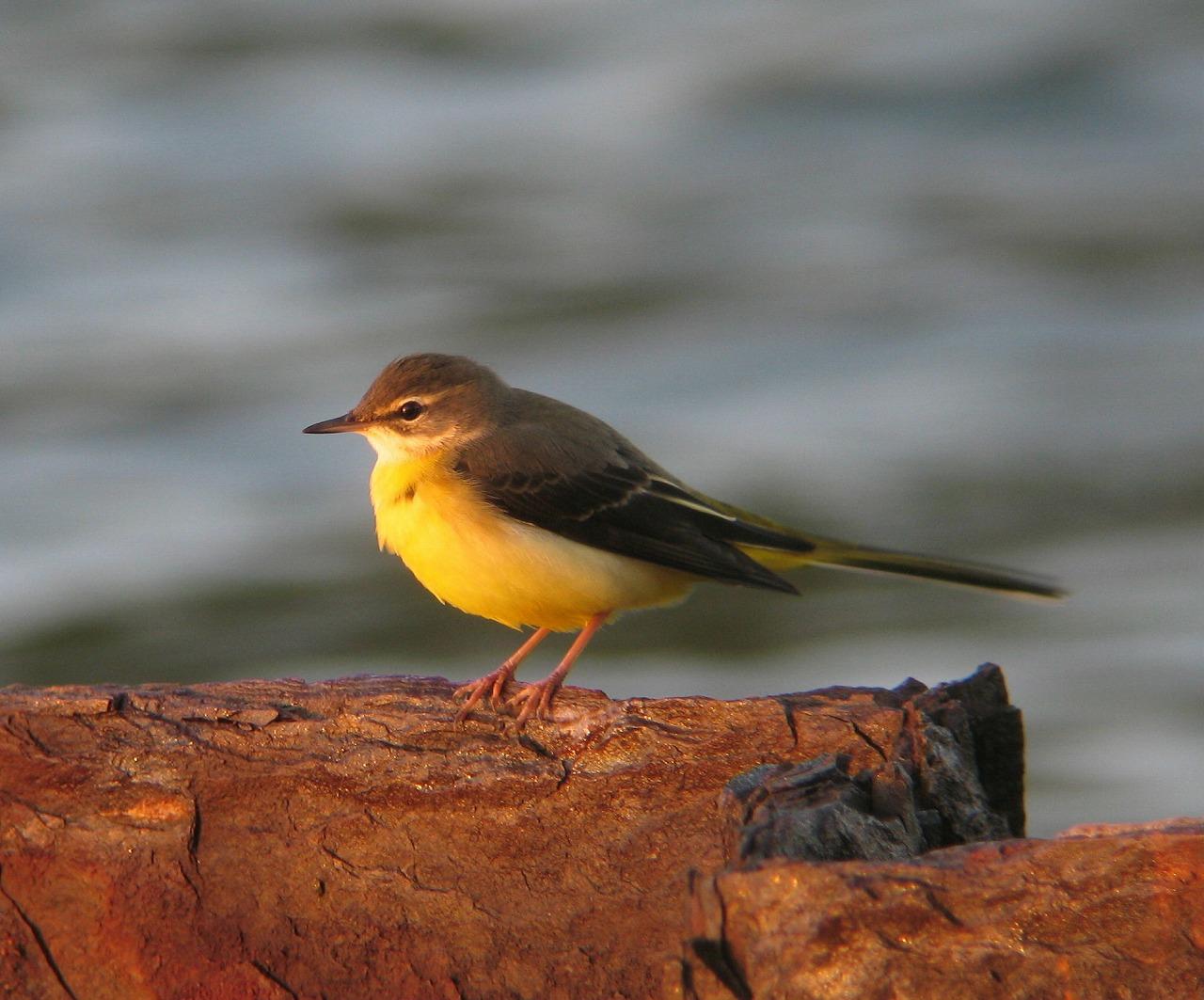 キセキレイちゃんの幼鳥と思います。_e0018678_20394867.jpg