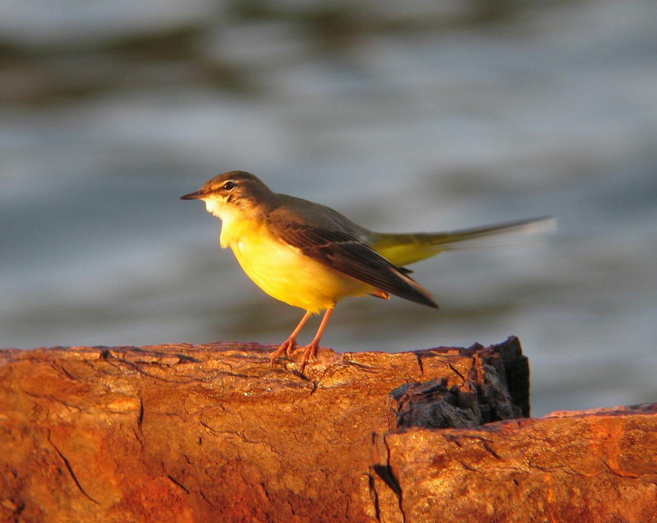 キセキレイちゃんの幼鳥と思います。_e0018678_20403280.jpg