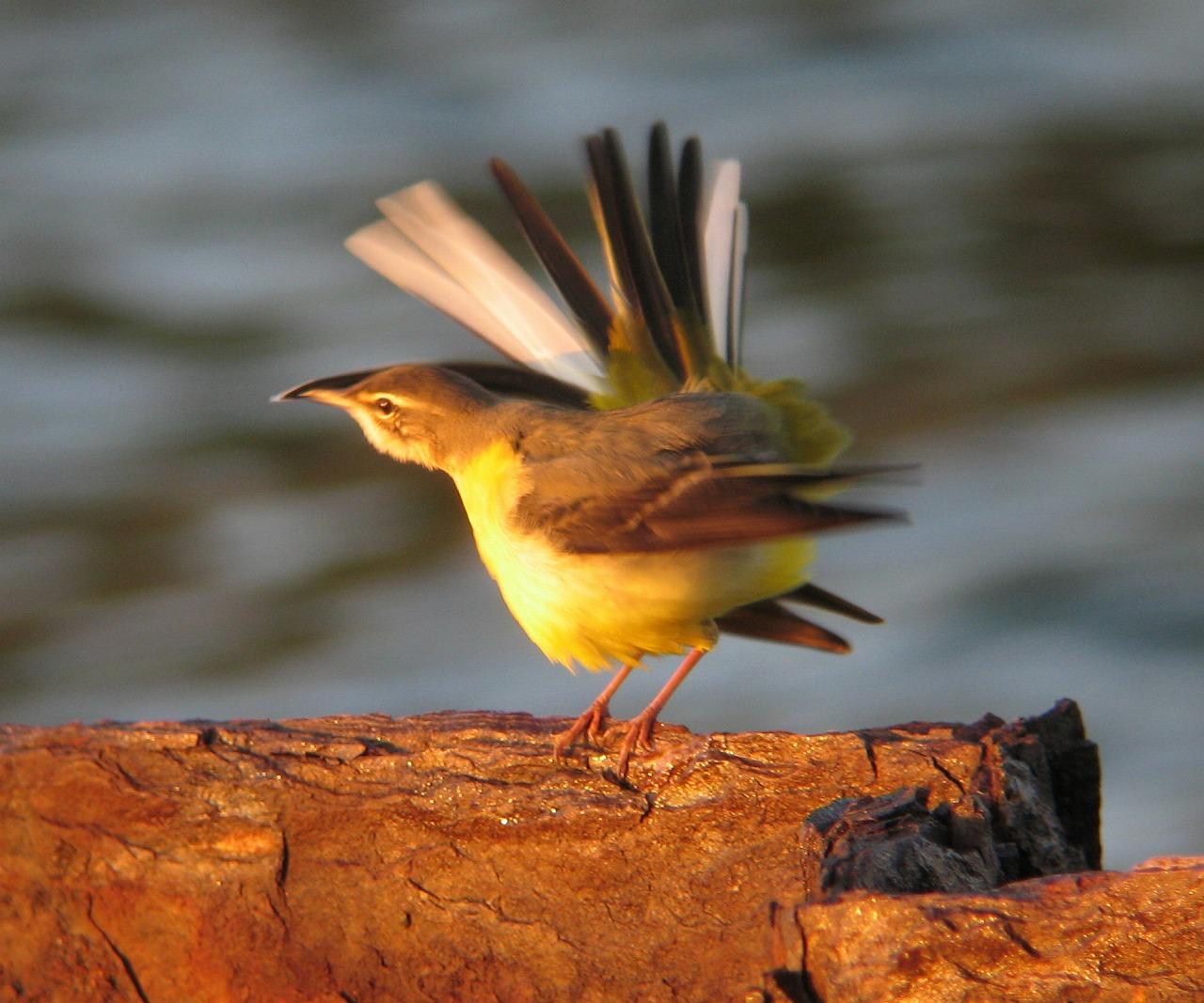 キセキレイちゃんの幼鳥と思います。_e0018678_2041811.jpg