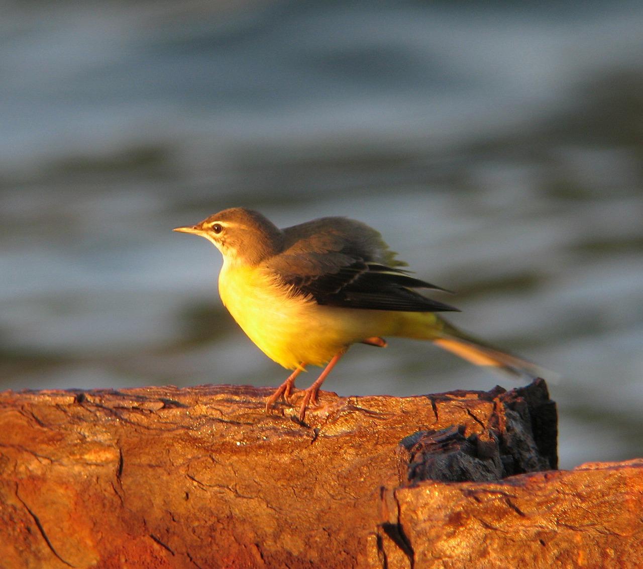 キセキレイちゃんの幼鳥と思います。_e0018678_20422353.jpg