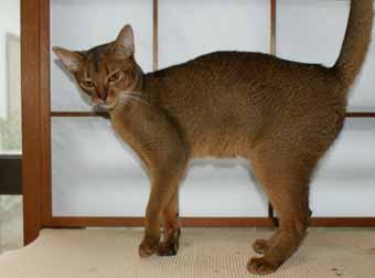 アビシニアン ブルーとフォーンの子猫誕生_e0033609_21351868.jpg