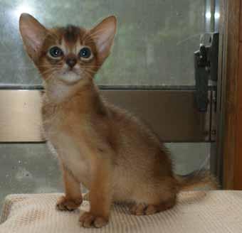 アビシニアン 子猫ちゃん _e0033609_21405781.jpg
