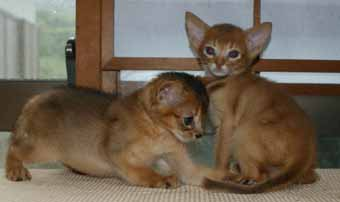 アビシニアン 子猫ちゃん _e0033609_21413170.jpg