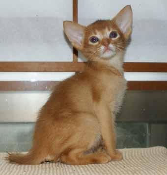 アビシニアン 子猫ちゃん _e0033609_21483655.jpg