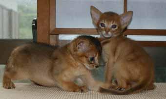 アビシニアン 子猫ちゃん _e0033609_21485698.jpg