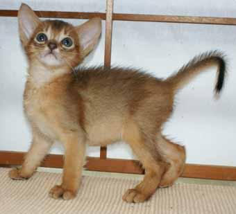 アビシニアン 子猫ちゃん _e0033609_2148719.jpg
