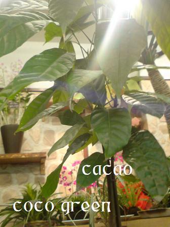 カカオの木_c0130553_18495769.jpg