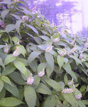 テンニンソウが咲いています。_c0089831_21251412.jpg