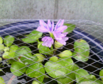 スイレンの花 改め ホテイアオイの花_d0134352_10294283.jpg