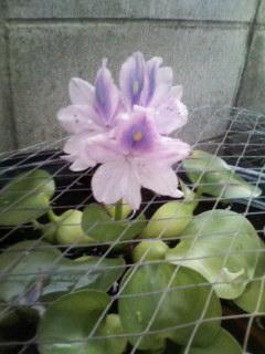 スイレンの花 改め ホテイアオイの花_d0134352_1031464.jpg