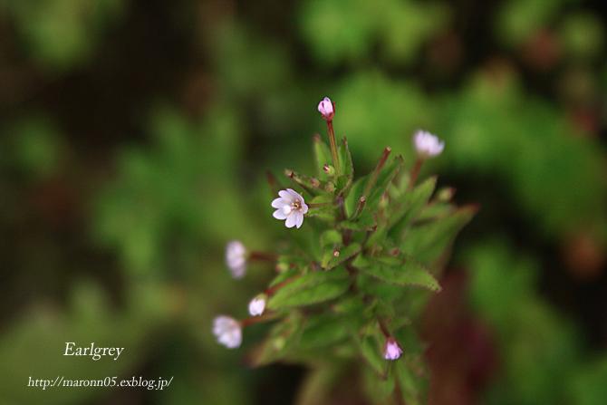 高原の夏花 (2)_f0019849_22233052.jpg