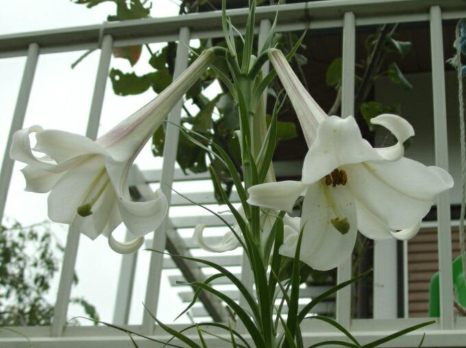 彼岸花に似た花と名前を知らない百合_f0018078_17114071.jpg