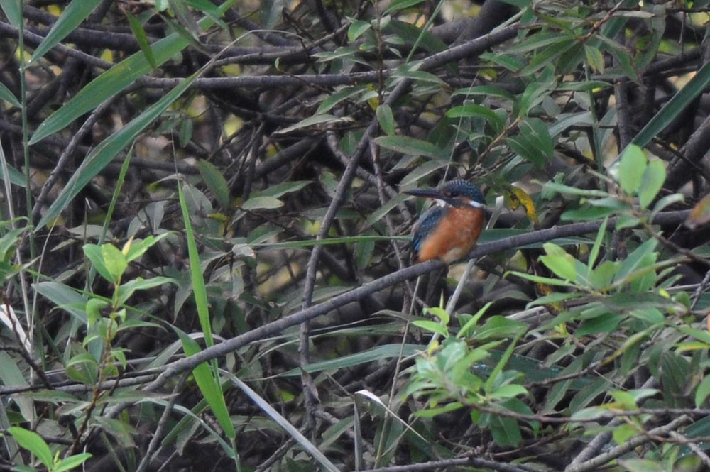 池の住人(鳥)/蓮田_b0024798_5215570.jpg