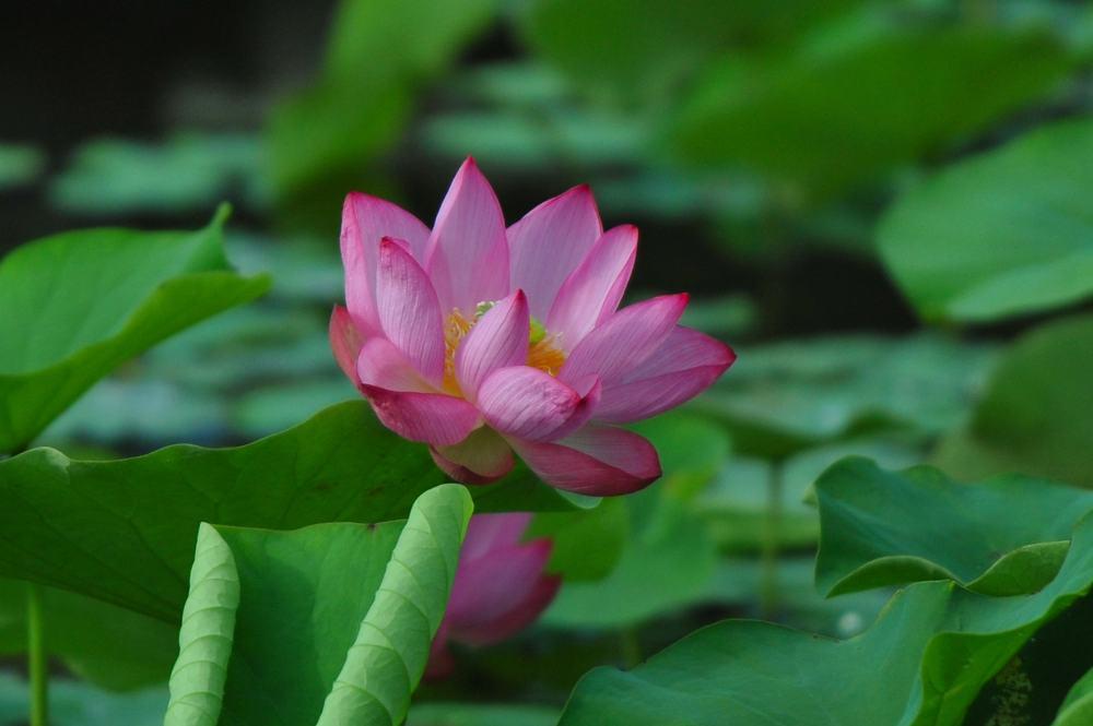 池の住人(鳥)/蓮田_b0024798_525146.jpg