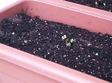 ベランダ菜園報告_f0134268_13302176.jpg