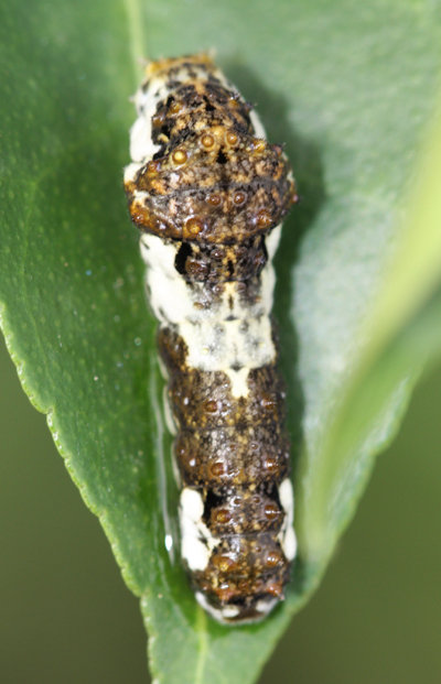 ナミアゲハの幼虫_d0130714_22313723.jpg