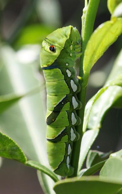 ナミアゲハの幼虫_d0130714_22314367.jpg
