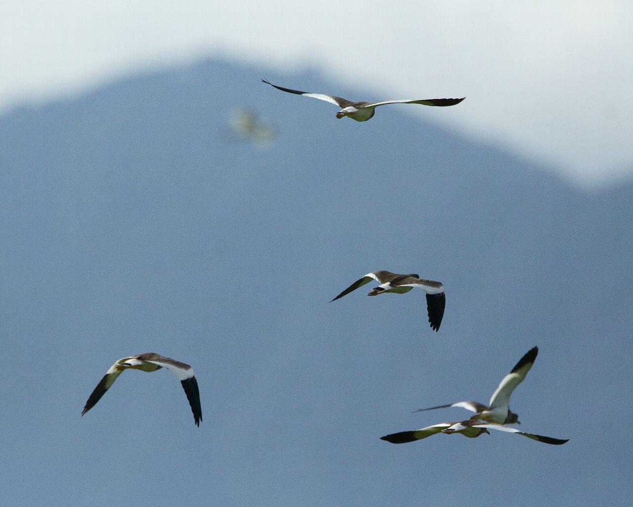 大山を背景に飛翔するケリの群れ_f0105570_21501143.jpg
