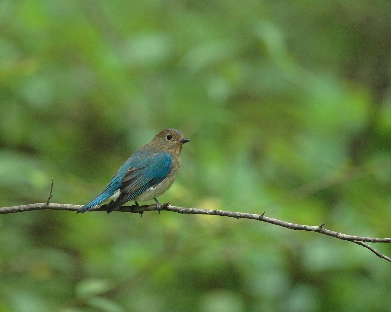 オオルリの若雄(グリーンバックの可愛い若鳥)_f0105570_22382752.jpg