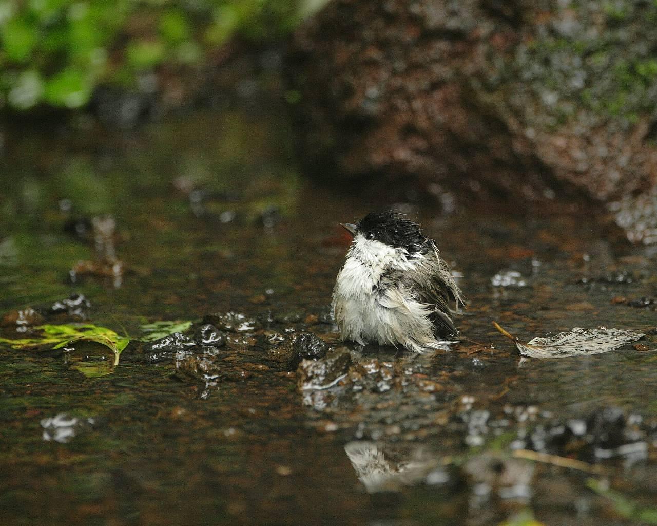 水浴びするコガラ(可愛い野鳥の涼しげな水浴びシーンの壁紙)_f0105570_16314868.jpg