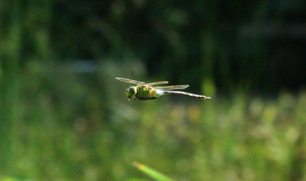 ギンヤンマ飛んで飛んで        森林公園_a0107574_22174562.jpg