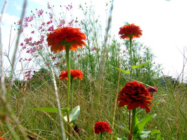 野菜畑に秋の花が咲きました。_b0137932_843527.jpg