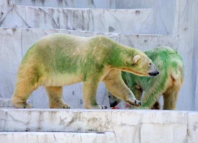 「ミドリグマ」だけど白クマです!! ~ナイトzooもあるよ!~_d0145934_20144495.jpg