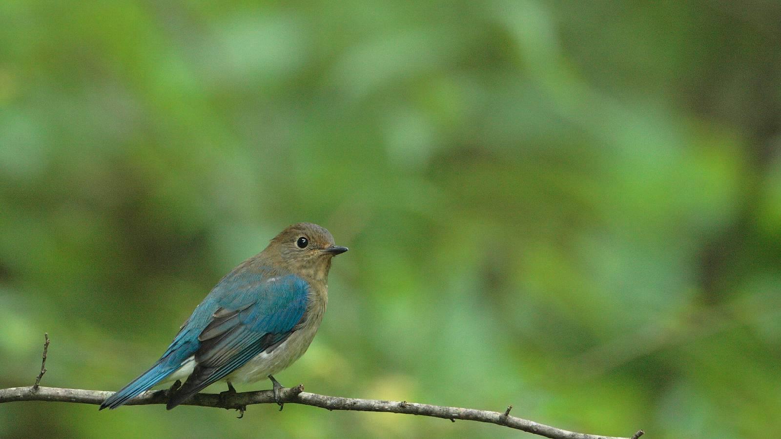 オオルリの若雄(グリーンバックの可愛い若鳥)_f0105570_2152983.jpg