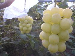 待ちに待ったこの葡萄! 瀬戸ジャイアンツ これから収穫始まる。_f0018099_82384.jpg