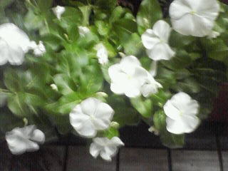 Vinca rosea_f0158941_18583751.jpg