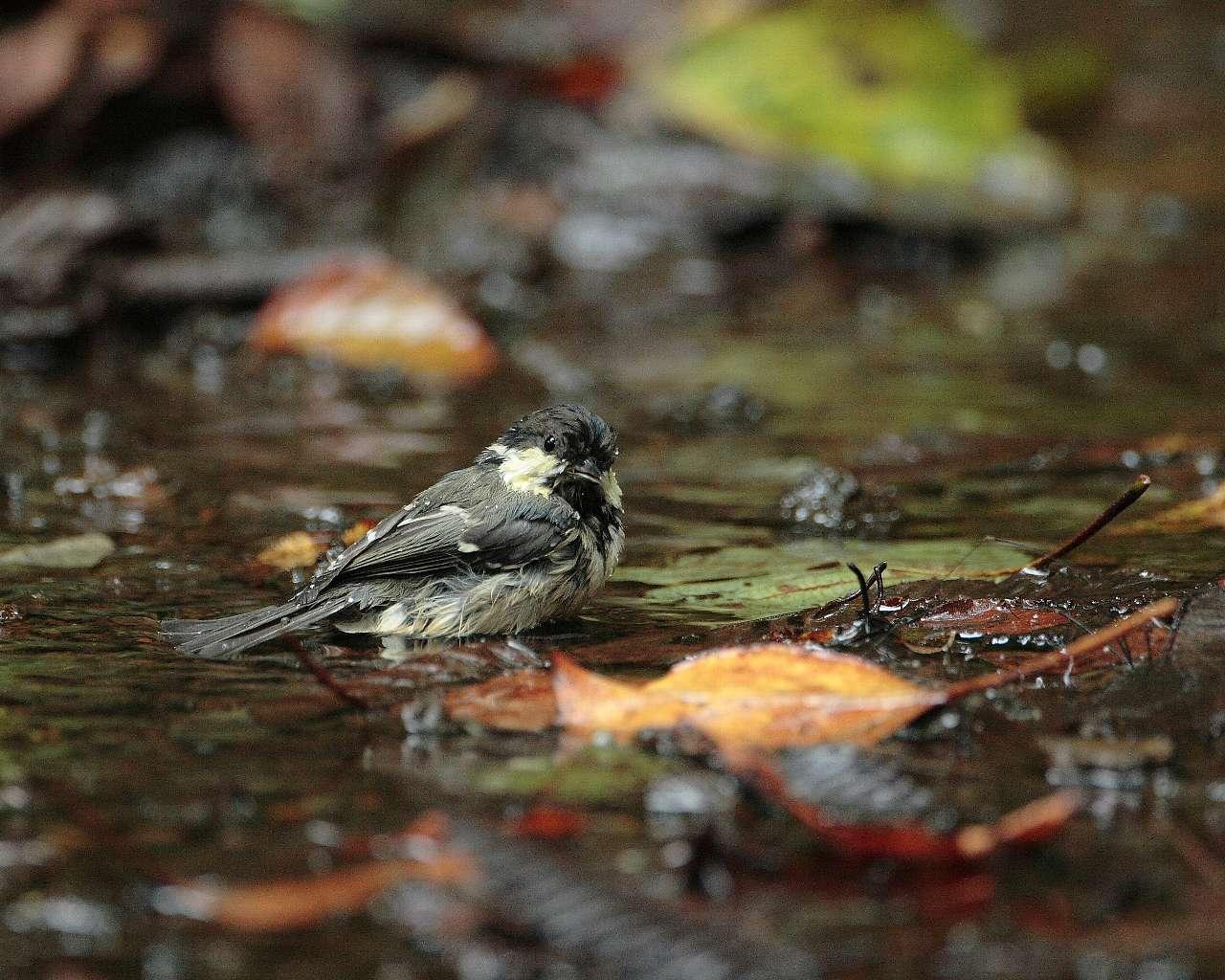 ヒガラの水浴び(秋らしい野鳥の壁紙)_f0105570_23222217.jpg