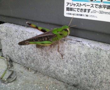 トノサマバッタ_d0134352_21362477.jpg