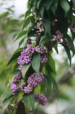 紫式部(コムラサキ)と白式部、今日の蝶たち_f0030085_16591361.jpg