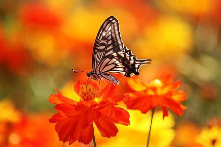 紫式部(コムラサキ)と白式部、今日の蝶たち_f0030085_1723460.jpg