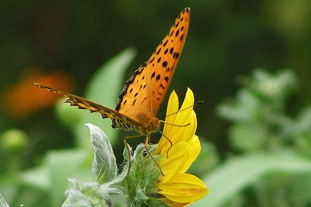 紫式部(コムラサキ)と白式部、今日の蝶たち_f0030085_1725483.jpg