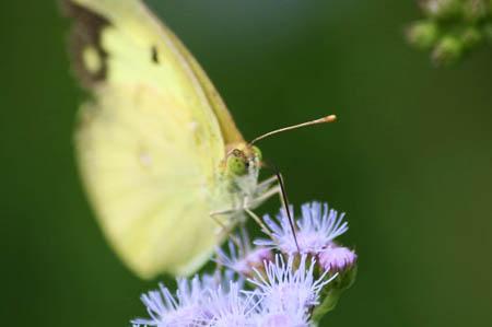 紫式部(コムラサキ)と白式部、今日の蝶たち_f0030085_1731285.jpg