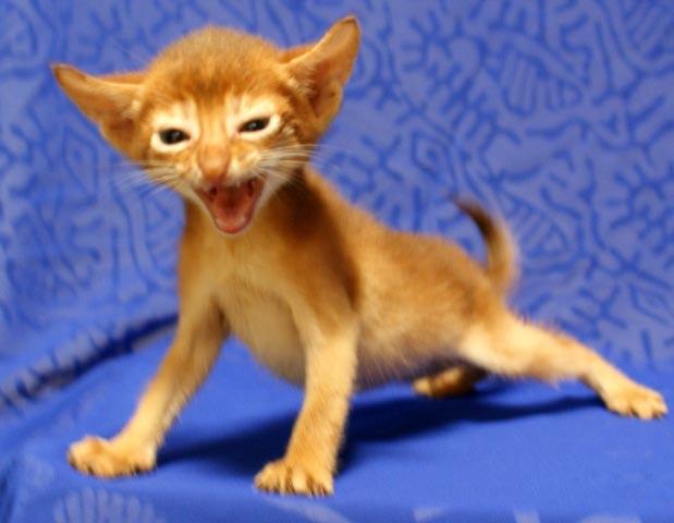 アビシニアン 子猫 レッド(シナモン)5週目男の子_e0033609_19123380.jpg