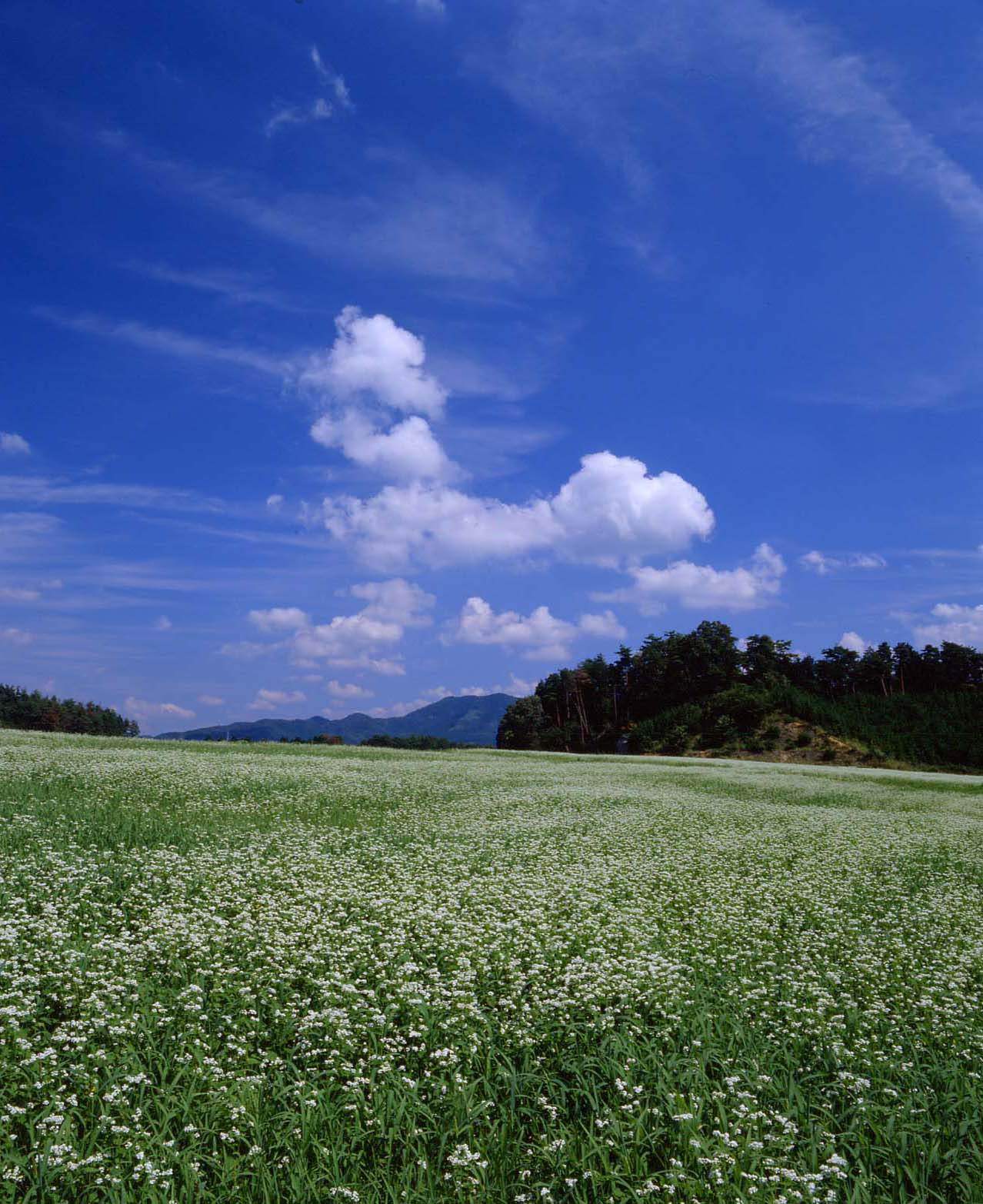 桜井市 笠 蕎麦の花 : 魅せられて大和路