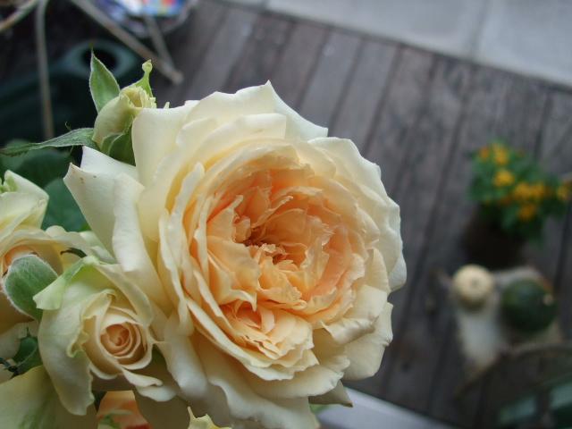 オークリーフ(秋薔薇)_f0049672_15354280.jpg